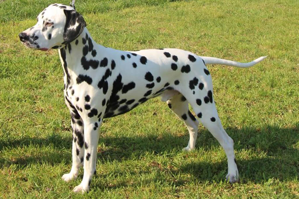 Happy Dalmatian s A Kind of Magic (w/s)